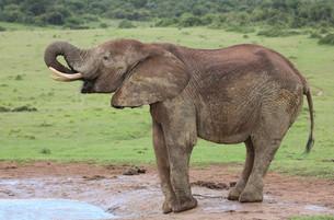 African Elephant Maleの写真素材 [FYI00645861]