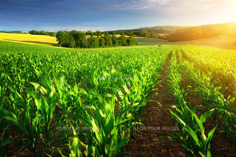corn field in the sunshineの写真素材 [FYI00646113]