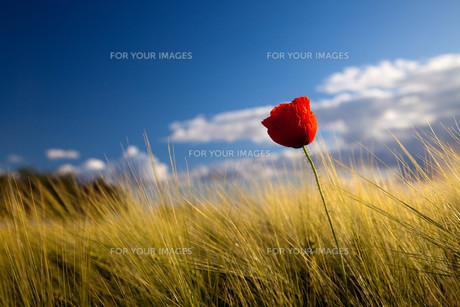 poppy flower against blue skyの素材 [FYI00646119]