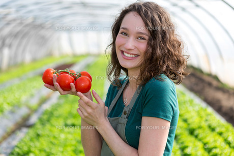 Young attractive farmer harvesting tomatoesの写真素材 [FYI00646908]