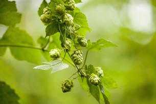 genuine hop (humulus lupulus)の写真素材 [FYI00647205]