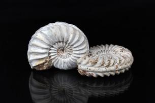 White Ammonitesの写真素材 [FYI00647208]