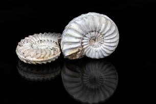 White Ammonitesの写真素材 [FYI00647209]
