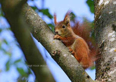 squirrelの素材 [FYI00647267]