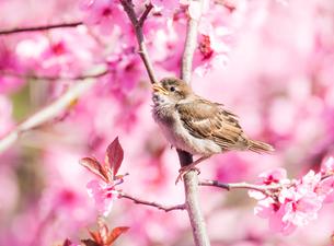 Sparrow in flowering peach treeの写真素材 [FYI00647504]