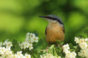 nuthatch on hawthorn flowersの素材 [FYI00647541]
