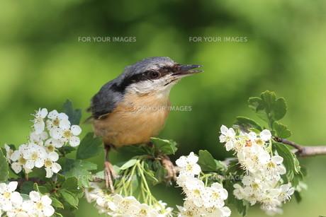 nuthatch on hawthorn flowersの素材 [FYI00647542]
