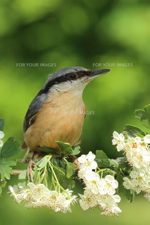 nuthatch on hawthorn flowersの素材 [FYI00647544]