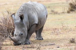 rhinoの写真素材 [FYI00647725]