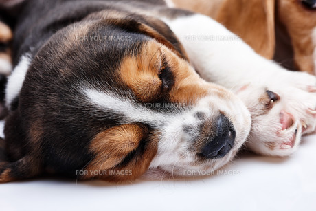 Beagle Puppy, lying in front of white backgroundの写真素材 [FYI00647778]