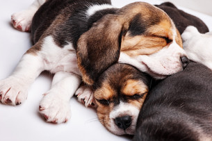 Beagle Puppies, slipping in front of white backgroundの写真素材 [FYI00647785]