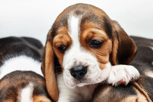 Beagle Puppy, lying in front of white backgroundの写真素材 [FYI00647786]