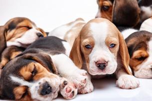 Beagle puppy on white backgroundの写真素材 [FYI00647787]