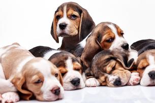 Beagle puppy on white backgroundの写真素材 [FYI00647789]