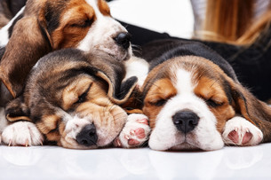 Beagle Puppies, slipping in front of white backgroundの写真素材 [FYI00647790]