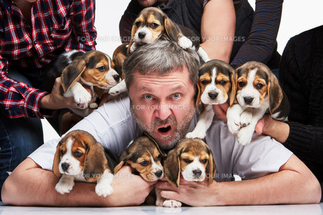 The man and big group of a beagle puppiesの写真素材 [FYI00647792]