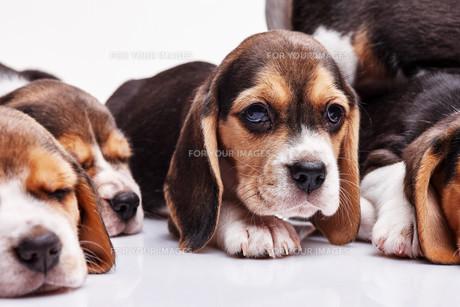 Beagle puppy on white backgroundの写真素材 [FYI00647793]