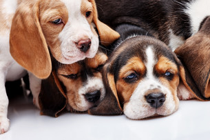Beagle Puppies, slipping in front of white backgroundの写真素材 [FYI00647794]