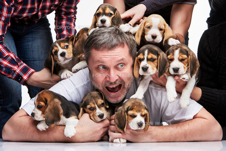 The man and big group of a beagle puppiesの写真素材 [FYI00647795]