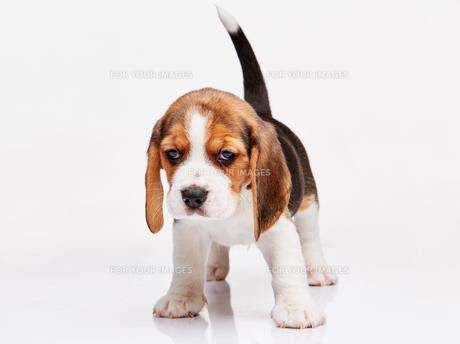 Beagle puppy on white backgroundの写真素材 [FYI00647796]
