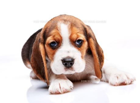 Beagle puppy on white backgroundの写真素材 [FYI00647797]