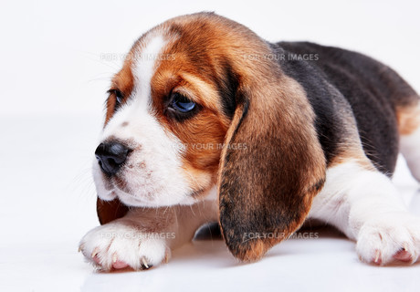 Beagle puppy on white backgroundの写真素材 [FYI00647799]
