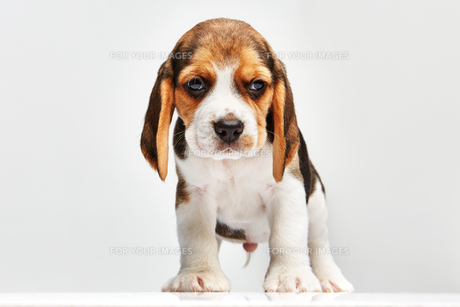 Beagle puppy on white backgroundの写真素材 [FYI00647800]