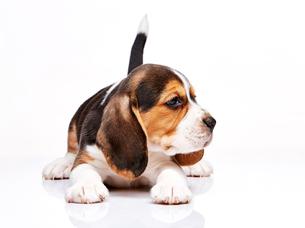 Beagle puppy on white backgroundの写真素材 [FYI00647801]
