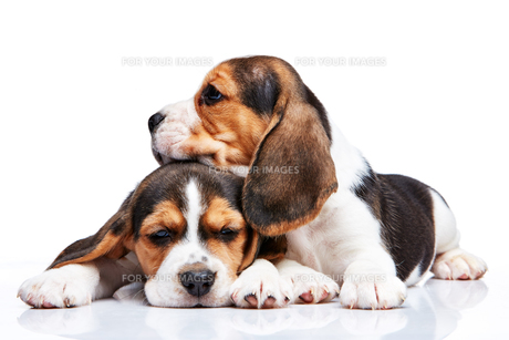 Beagle puppies on white backgroundの写真素材 [FYI00647805]