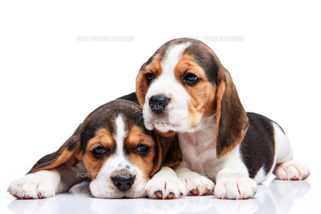 Beagle puppies on white backgroundの写真素材 [FYI00647807]