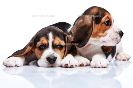 Beagle puppies on white backgroundの写真素材 [FYI00647809]
