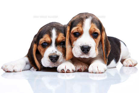 Beagle puppies on white backgroundの写真素材 [FYI00647810]