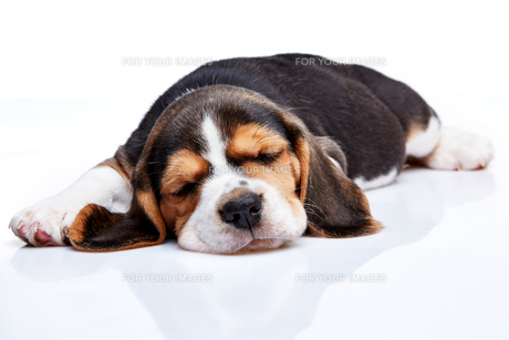 Beagle Puppy, lying in front of white backgroundの写真素材 [FYI00647811]