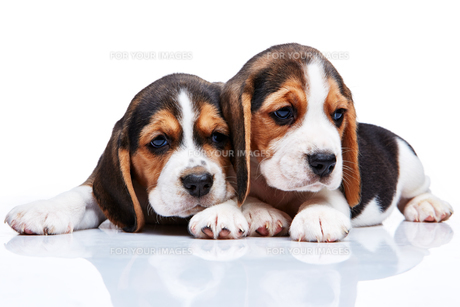 Beagle puppies on white backgroundの写真素材 [FYI00647812]