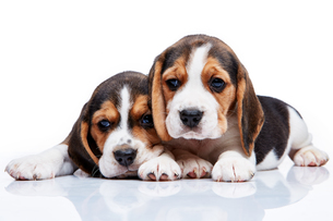 Beagle puppies on white backgroundの写真素材 [FYI00647814]
