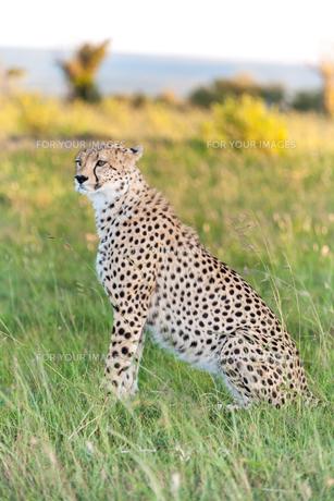 cheetahの写真素材 [FYI00647989]