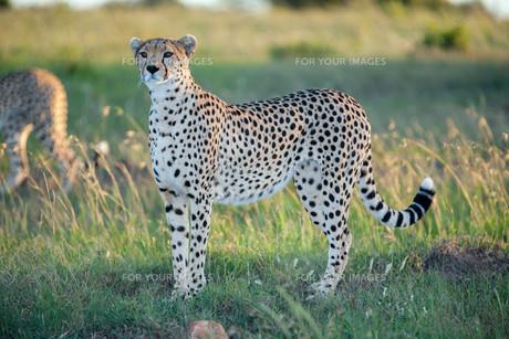 cheetahの写真素材 [FYI00647991]
