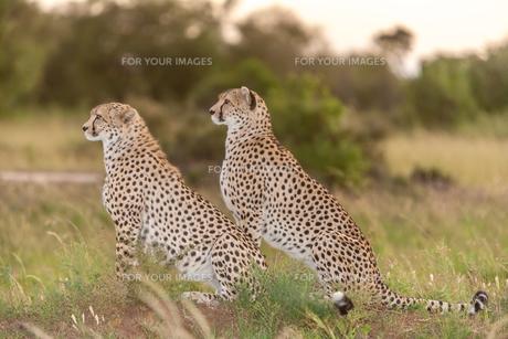 The two cheetahsの写真素材 [FYI00647995]