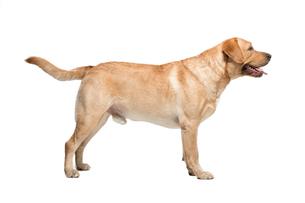 Labrador on white background in studioの写真素材 [FYI00648063]