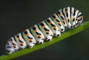 caterpillar of Papilionidae in the fennelの写真素材 [FYI00648313]