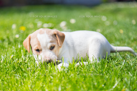 Mixed-breed cute little puppy on grass.の写真素材 [FYI00648602]