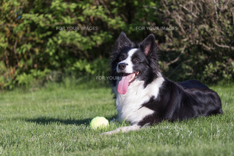 Border collie with yellow ball on the lawnの写真素材 [FYI00648624]