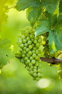 grapes (vitis vinifera)の写真素材 [FYI00648704]