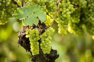 grapes (vitis vinifera)の写真素材 [FYI00648716]