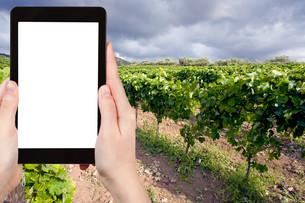 photo vineyard on slope in Etna region, Sicilyの写真素材 [FYI00649027]