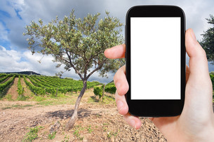 photo olive and vineyard in Etna region, Sicilyの写真素材 [FYI00649028]