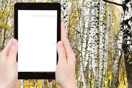 photo of russian birch grove in autumnの写真素材 [FYI00649079]