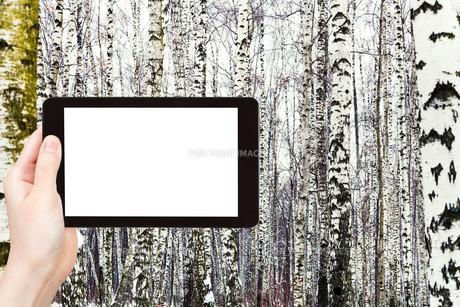 photo of russian snowy birch woods in winterの写真素材 [FYI00649121]