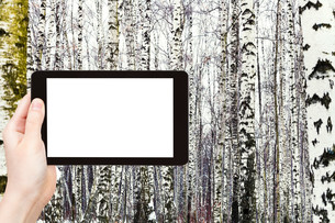 photo of russian snowy birch woods in winterの写真素材 [FYI00649121]