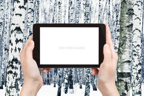 photo of russian white birch woods in winterの写真素材 [FYI00649126]